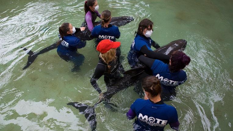 d9046d31-Pygmy Killer Whale Patients_1535653425416