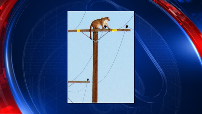 43ee6319-Mountain lion perched on pole
