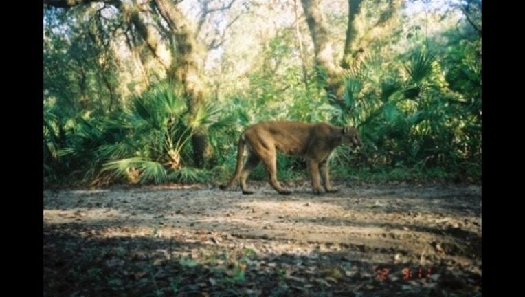fa05f897-Florida Panther