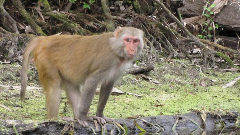 b13b39ea-Rhesus macaque in Silver Springs State Park_1542378164164.JPG.jpg