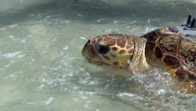 8eb29a9b-Sea Turtle release 090915 1