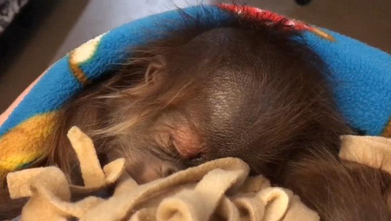 d939fb52-Storyful-209545-Sleeping_Baby_Orangutan_Doesnt_Let_Hiccups_Interrupt_Her_Sweet_Dreams.00_00_08_20.Still001_1537868734335.jpg