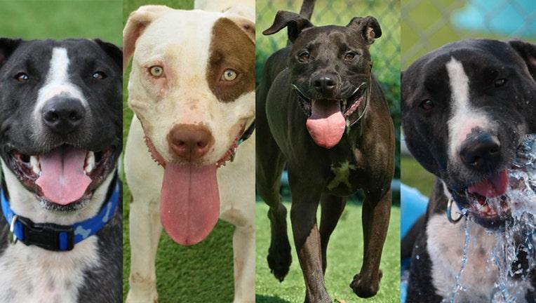 60c7dc15-WTVT remaining adoptable pups 092518_1537887808165.jpg.jpg