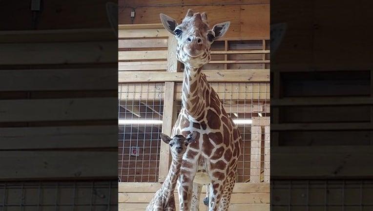 e06e0b37-april the giraffe_1553015936449.png-402429.jpg