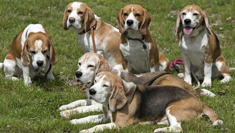 431a084f-beagles_1473014956892-407693.jpg