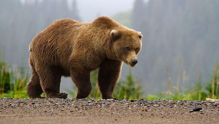 2a559bea-brown bear_1562061945956.jpg.jpg