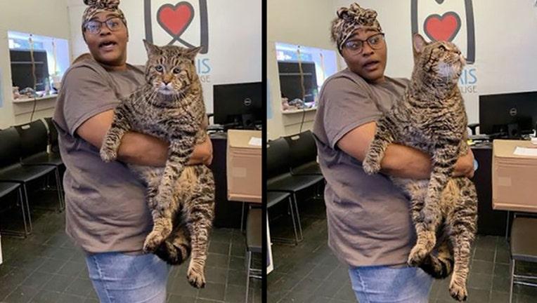 chonk cat morris animal refuge_1566502699314.jpg.jpg