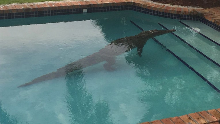 0115fca9-croc in a pool_1453396435227.jpg