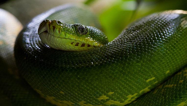 281cdd52-green-tree-python-snake-python-morelia-viridis-60512_1484062593526.jpeg