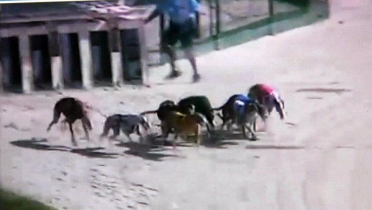 841b1774-greyhound racing file_1532700982248.jpg.jpg