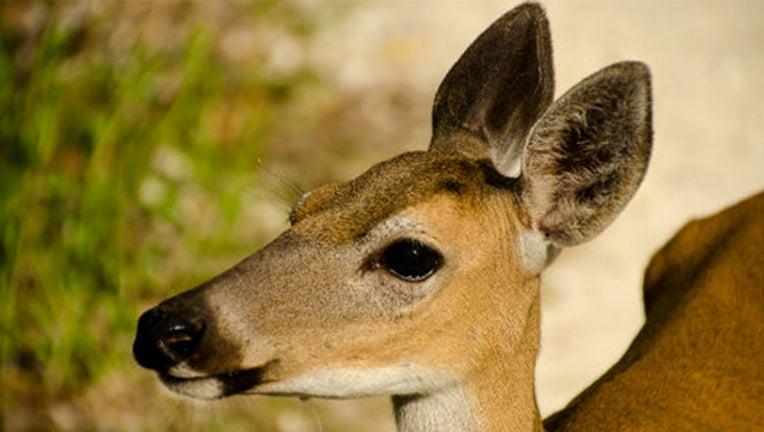 e296954d-key deer_1508750595358.jpg