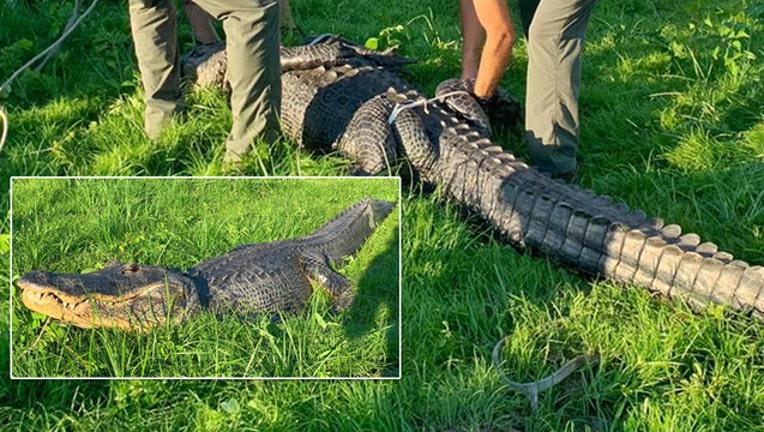 Gator Truck Of Ocala >> 11 Foot Alligator Causes A Stir In Ocala Neighborhood Fox