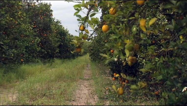 07956a7d-orange grove_1449871280036.jpg