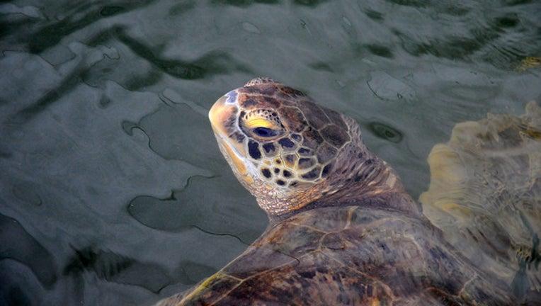 dcbd0273-sea turtle_1446731473444.jpg