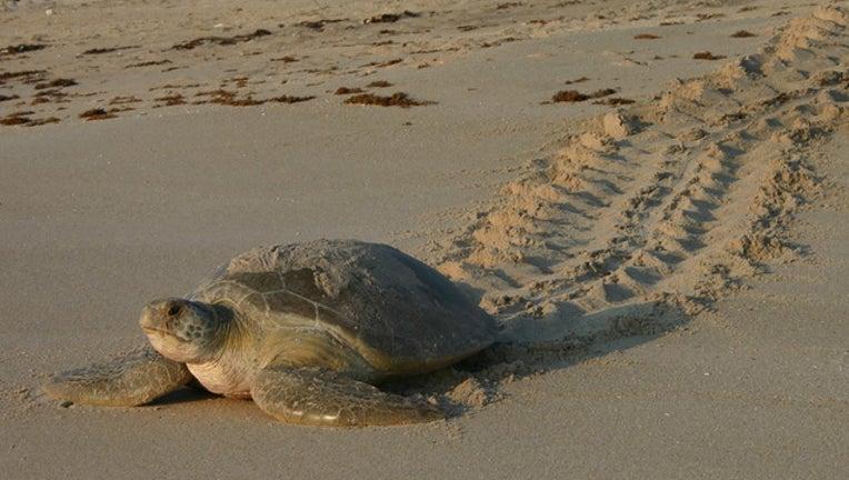 589d2536-sea turtles _1527770673402.jpg.jpg
