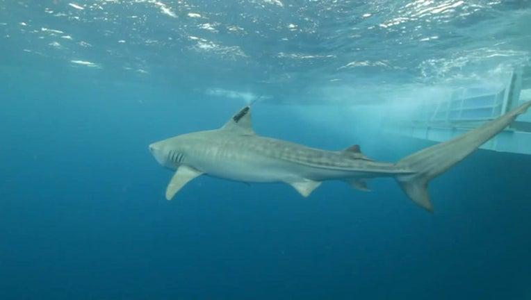 c626be7f-shark_1453145900360.jpg
