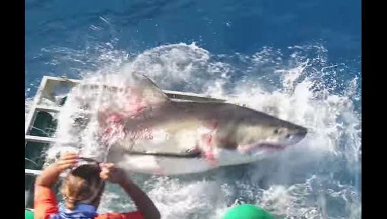 f0dbd551-shark_1476452343162-405538.JPG