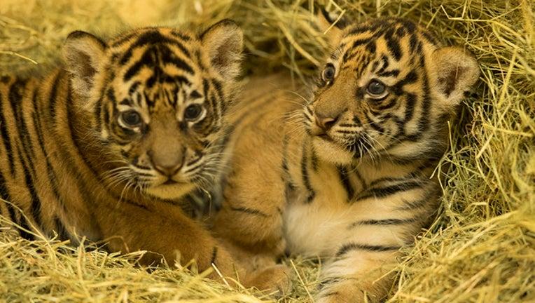 23cce446-sumatran-tigers-disney_1506560762796-402429.jpg