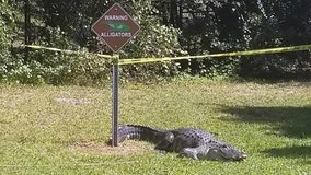 Large gator captured next to alligator warning sign at Tampa park
