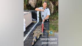 Rare crocodile snapped up outside Englewood home
