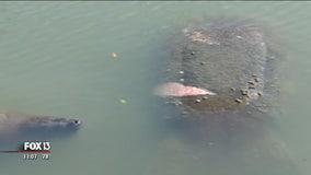 FWC monitoring injured manatee in Treasure Island waterway