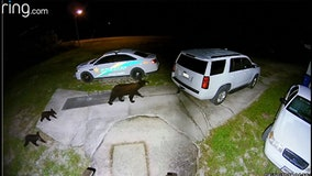 Highlands County deputies urging residents to watch out for bear family