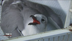 More sick seabirds found, this time near Anna Maria Island