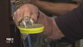 Snake captured in Wesley Chapel being used to create antivenom