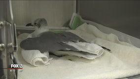 Dozens of seagulls mysteriously fall ill on Lido, Siesta Key beaches