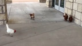 Texas school recruits chickens to tackle cricket invasion