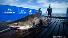 2,000-pound great white shark tracked to Gulf of Mexico, near Key West