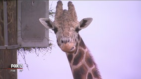 Go behind the scenes to visit giraffes at Zoo Tampa