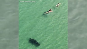 Manatee startles swimmers at Indian Rocks Beach