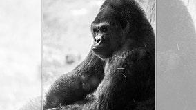 'Sim Sim,' Busch Gardens Tampa Bay's oldest male gorilla, passes away