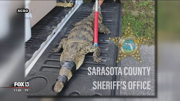 Rare American crocodile found in Sarasota County