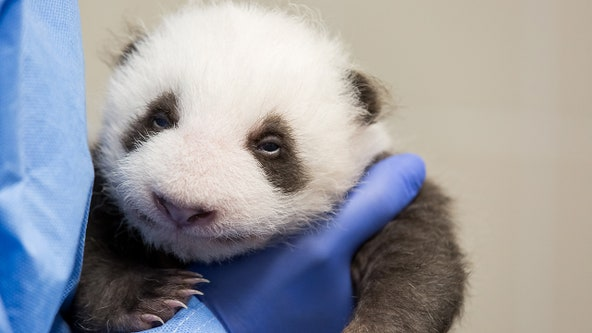 Panda cubs open their eyes for the first time