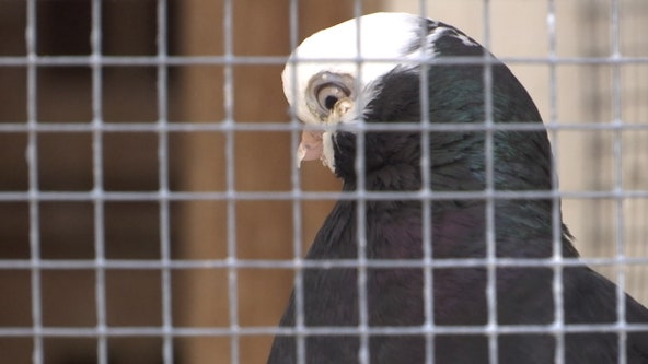 Pigeon racers beef up security after nearly 300 birds stolen from Brooksville owner