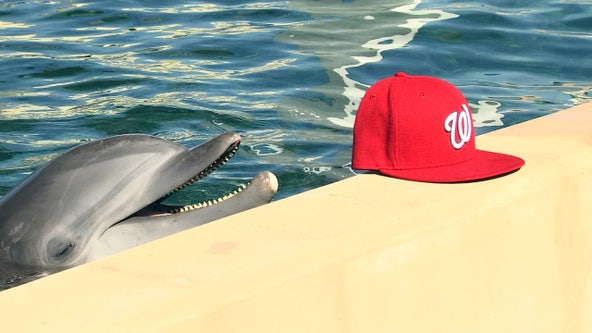 World Series: 'Nicholas' the rescued dolphin predicts Nationals win
