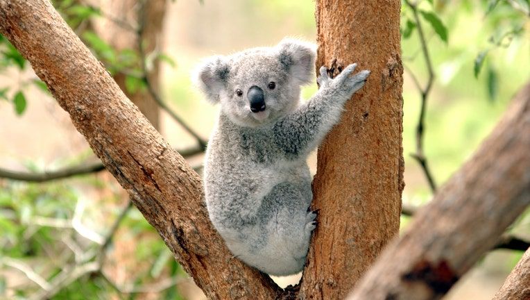 Koala at Taronga Zoo, Sydney Australia Nov 2002. (Photo by Jeff Overs/BBC News & Current Affairs via Getty Images)