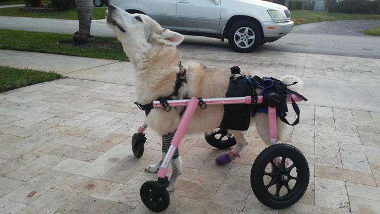 6be0a9f6-zorra dog wheelchair wanda ferrari_1570316911868.jpg.jpg