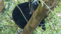 'Thanksgiving miracle': Bear stuck in tree above Florida tiger cage climbs down after 5 days