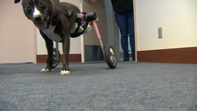 Forced into partial paralysis, Justice thrives as therapy dog