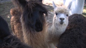 Meet dozens of alpacas at Sweet Blossom's open house in Dade City