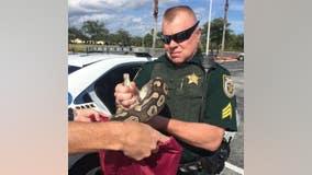 Florida deputies: 8-foot python found 'trespassing' in parking lot