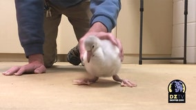 Baby flamingo practices walking at Denver Zoo