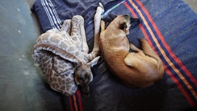 Dog befriends baby giraffe after it was abandoned in South Africa