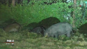 Officials promote feral hog hunting to protect native wildlife