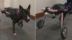 'Justice' was found abandoned and partially paralyzed, but continues to live up to her name