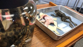Tampa company creates man-made frogs for use in school dissections instead of real ones