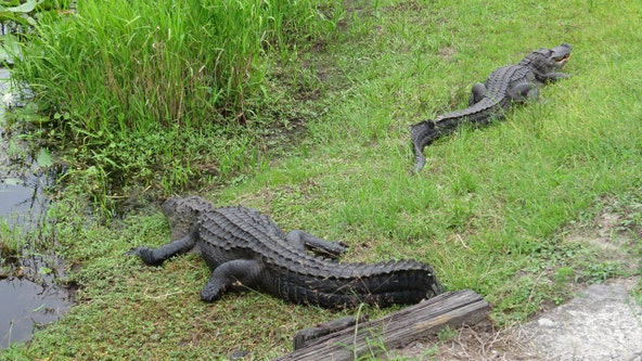 Early-morning wakeup call turns out to be 2 alligators fighting outside Florida home: report